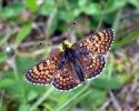 Glanville Fritillary, Melitaea cinxia