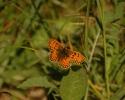 Meadow Fritillary, Mellicta parthenoides