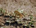 Spotted Fritillary, Melitaea didyma