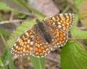 Knapweed Fritillary, Melitaea phoebe