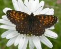 False Heath Fritillary, Melitaea diamina