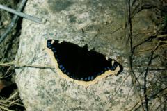 Nymphalidae - Vanessids