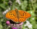High Brown Fritillary, Argynnis adippe