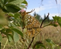 High Brown Fritillary, Argynnis adippe