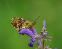 Lesser Marbled Fritillary, Brenthis ino
