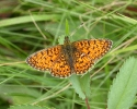 Small Pearl-bordered Fritillary, Clossiana selene