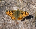 Queen of Spain Fritillary, Issoria lathonia