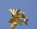 Scarce Swallowtail, Iphiclides podalirius