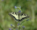 Swallowtail, Papilio machaon
