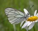 Black-veined White, Aporia crataegi