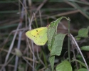 Lesser Clouded Yellow, Colias chrysotheme