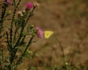 Eastern Pale Clouded Yellow, Colias erate