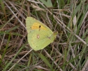 Clouded Yellow, Colias croceus