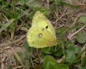 Pale Clouded Yellow, Colias hyale