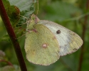 Berger's Clouded Yellow, Colias alfacariensis