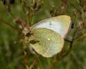Moorland Clouded Yellow, Colias palaeno