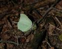 Brimstone, Gonepteryx rhamni