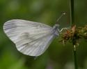 Wood White, Leptidea sinapis/reali