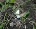 Fenton's Wood White, Leptidea morsei