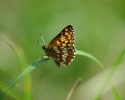 Duke of Burgundy, Hamearis lucina