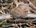 Tree Grayling, Hipparchia statilinus