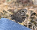 Tree Grayling, Hipparchia statilinus