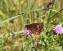 Scotch Argus, Erebia aethiops