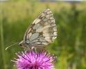 Marbled White, Melanargia galathea