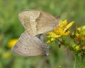 Meadow Brown, Maniola jurtina