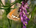Pearly Heath, Coenonympha arcania