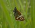 Pearly Heath, Coenonympha arcania