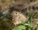False Grayling, Arethusana arethusa