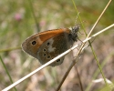 Large Heath, Coenonympha tullia