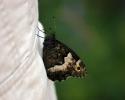 Great Banded Grayling, Brintesia circe
