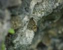 Large Wall, Lasiommata maera